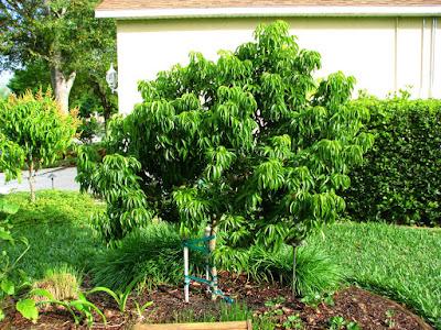 Lychee and Longan in Miami Beach - fruit or die!