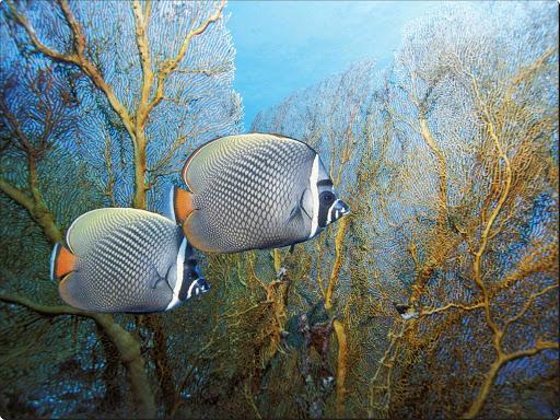 Redtail Butterflyfish, Andaman Sea, Thailand.jpg