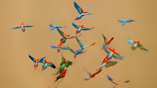 Macaws Flying Over a River, Tambopata National Reserve, Peru.jpg