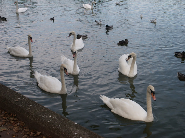 Swans at the Lough, Cork