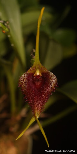 Alaticaulia bennettii ( ex. Masdevallia bennettii ) IMG_0580b%2520%2528Medium%2529