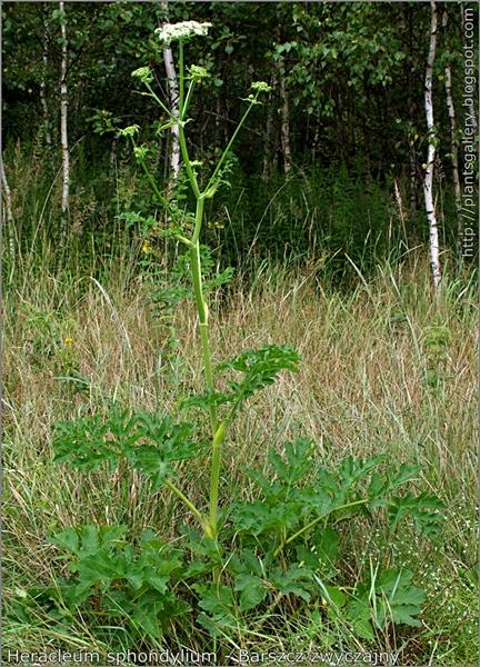 Heracleum sphondylium habit - Barszcz zwyczajny pokrój kwitnącej rośliny
