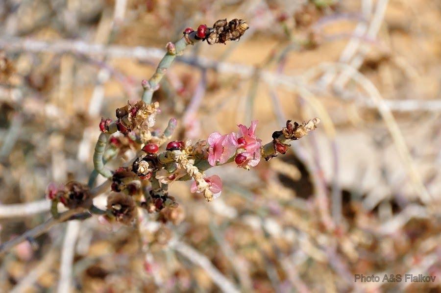 Цветы пустыни Негев.