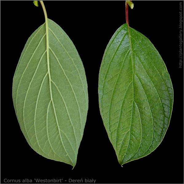 Cornus alba 'Westonbirt' leaf - Dereń biały liść z wierzchu i od spodu