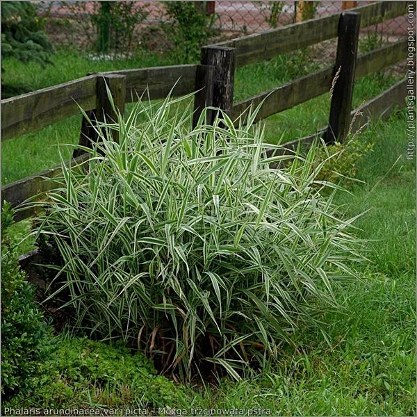 Phalaris arundinacea 'Picta' habit - Mozga trzcinowata pokrój
