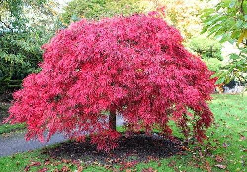 Клен дланевидный в японском саду