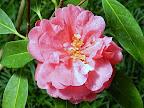 鮮桃藤色 八重咲き 内弁の先端に白筋 大輪