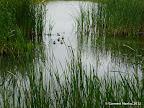 A bunch of ducks