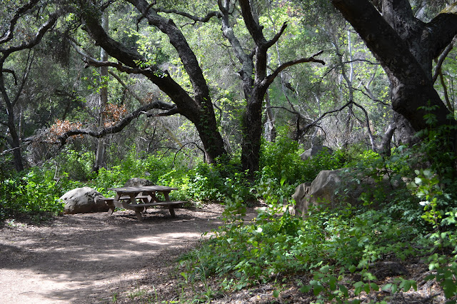 picnic table among lush green of poison oak