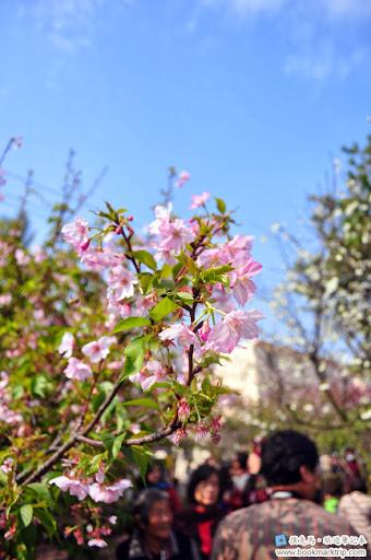 芬園花卉生產休憩園區 - 昭和櫻