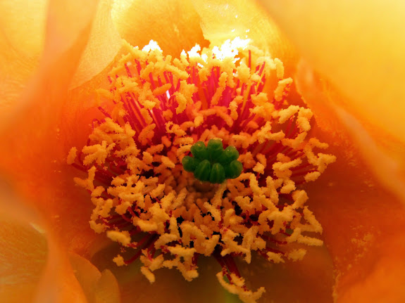 Inside a Prickly Pear Cactus bloom