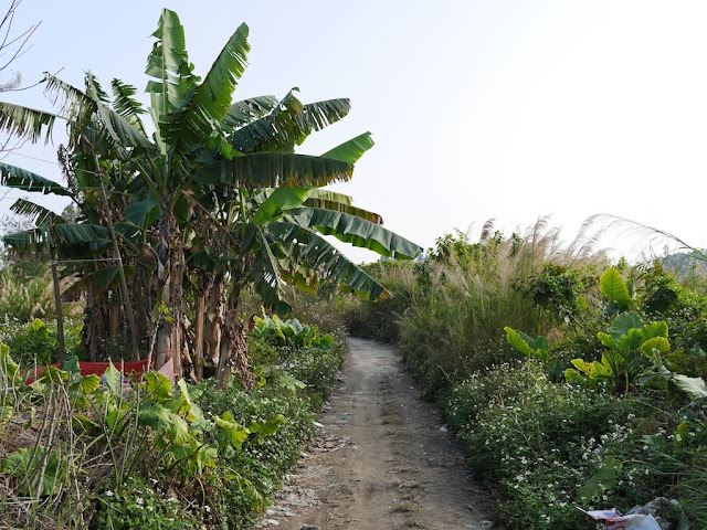 palm tree next to a dirt path through greenery south of Jiaoqiao New Road (滘桥新路) in Yangjiang