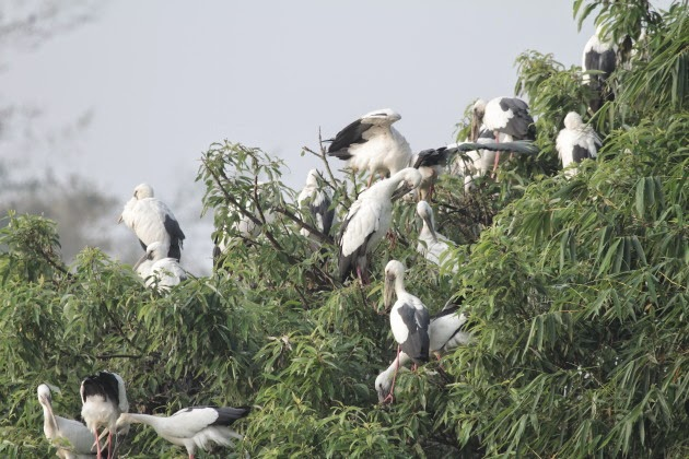 Asian Openbill nesting colony at Ranganathitu Bird Sanctuary