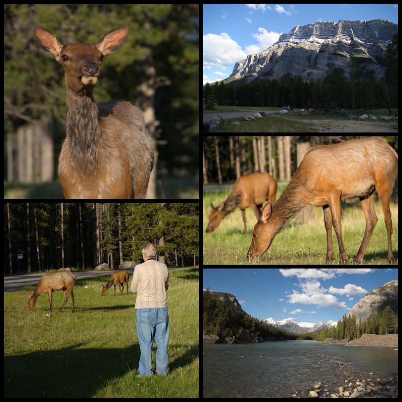 Banff: Elk am Golf Course