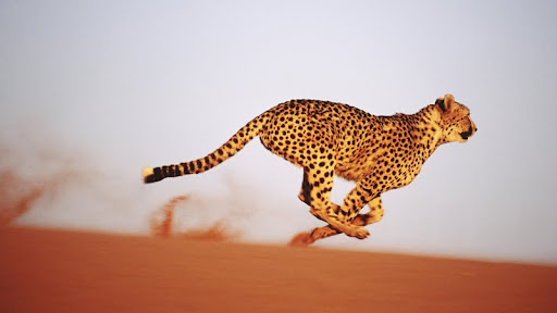 Gaining Speed, Cheetah, Namibia.jpg