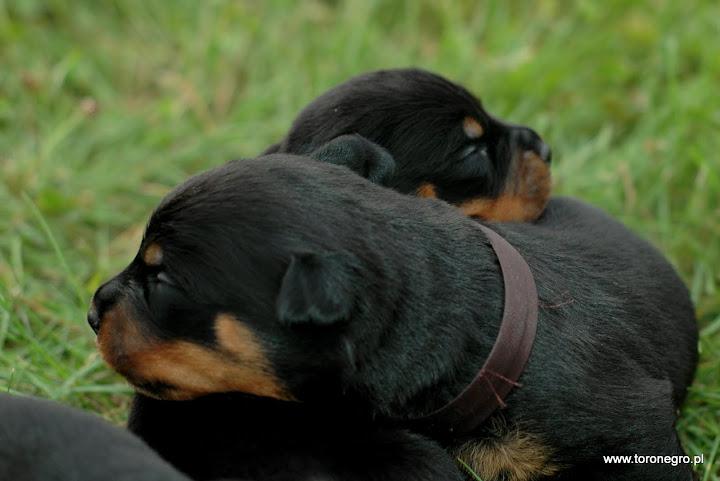 szczeniaki rottweiler toro negro piękne