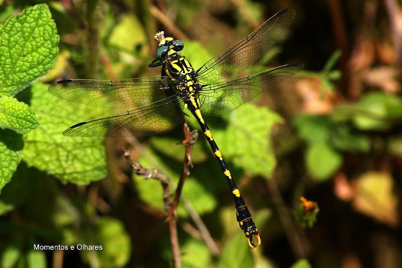 Large Pincertail Onychogomphus uncatus libelinha
