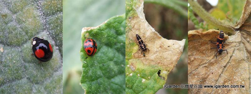 瓢蟲幼蟲及成蟲| iGarden花寶愛花園