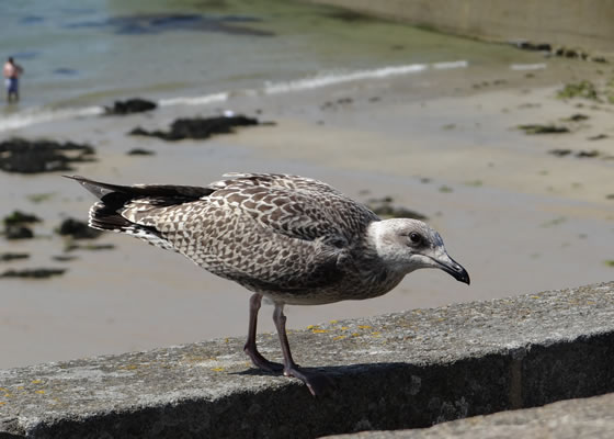 1582.jpg - Les oiseaux � Saint-Malo par Bretagne-web.fr