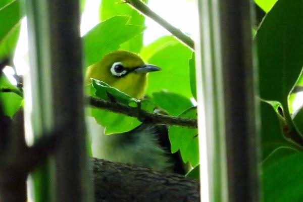 2013「綠繡眼」觀察日記,生命的美好!