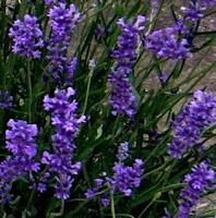 lavanda folgate angustifolia