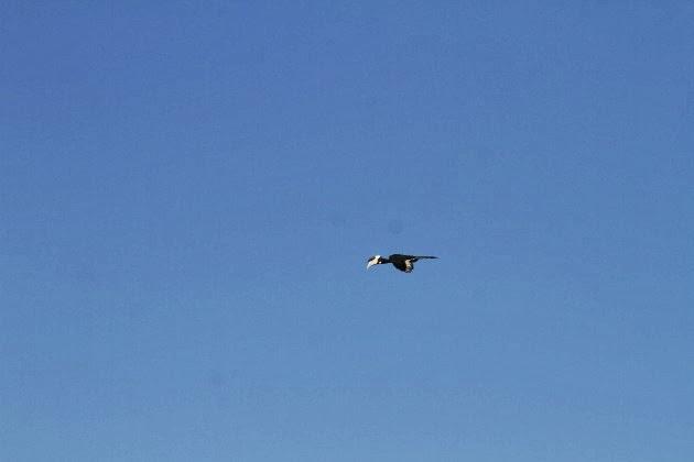Malabar pied hornbill in flight in Dandeli's blue sky