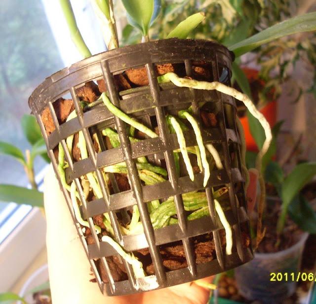 Cattleya aurantiaca  SDC19727