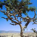 Frankincense oil - Frankincense Oil Benefits