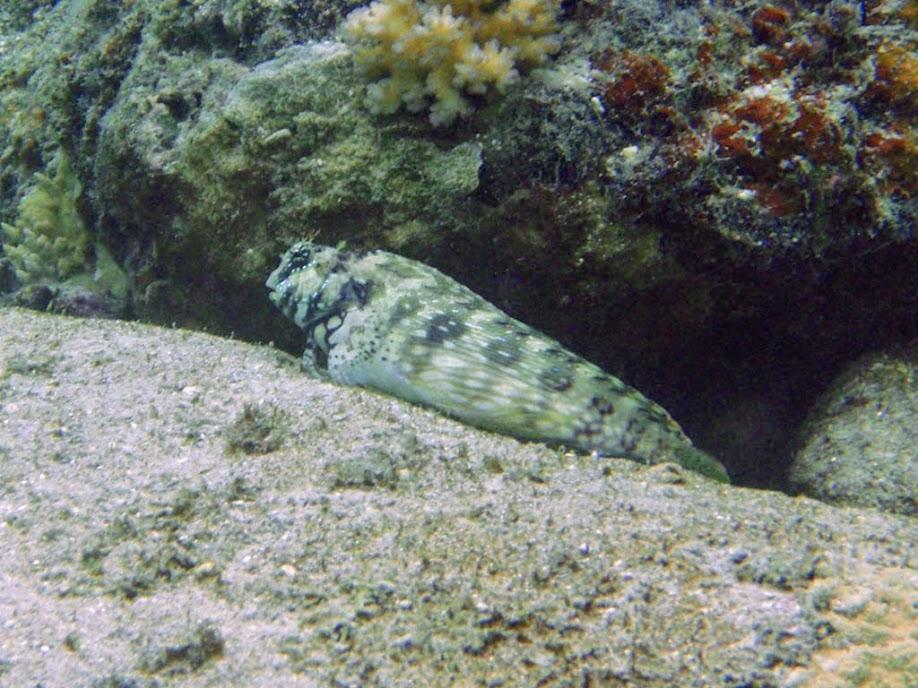 Salarias fasciatus (Jewelled Blenny), Naigani Island, Fiji.