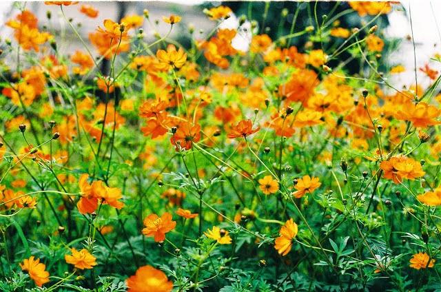 hạt giống hoa sao nhái vàng