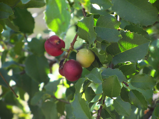 holy cherries
