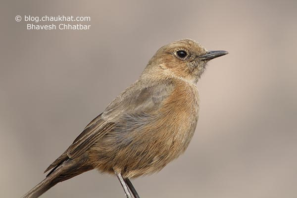 Brown Rock Chat [Indian Chat, Cercomela fusca, Oenanthe fusca] is a native Indian bird of chat [Saxicolinae] sub-family under Muscicapidae family