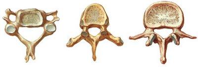 Conte do de radiologia esqueleto humano for Esterno e um osso irregular