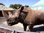 Nashornbulle Tsavo