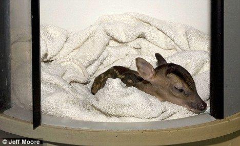 tiny deer 3