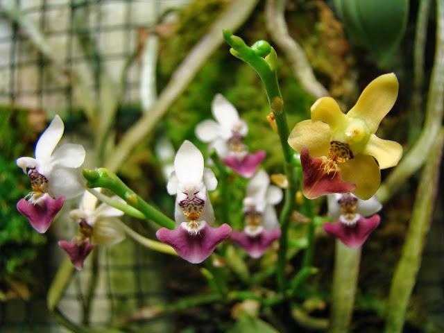 Phalaenopsis parishii DSC01200