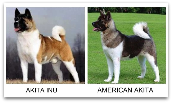 american akita are not permitted in the japanese akita inu