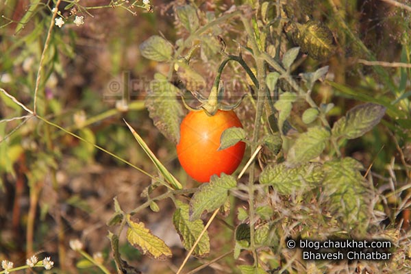 Wild tomato photographed at Pirangut ghat near Pune city