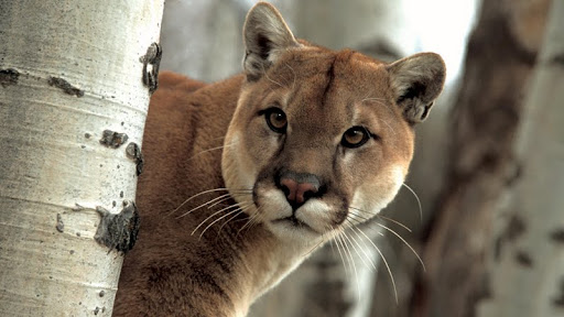 A Watchful Cougar.jpg
