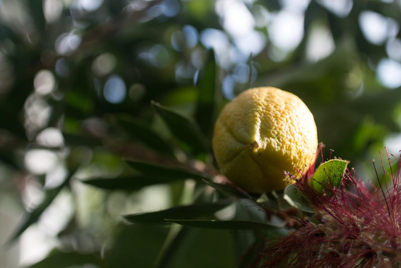 Zitrone im Gewächshaus Bad Wilhelmshöhe