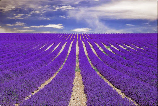 Fields of Lavender in Provence, France.jpg