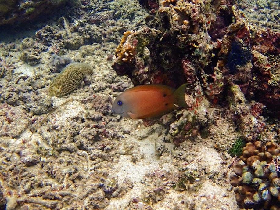 Ctenochaetus binotatus (Two-spot Bristletooth), Miniloc Island Resort reef, Palawan, Philippines.