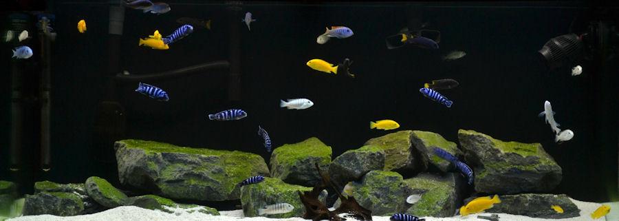 Cichlid forum fastest way to grow algae on rocks
