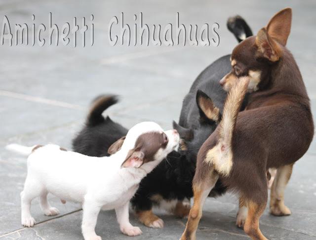 chihuauha Canil Amichetti de Juquitiba SP