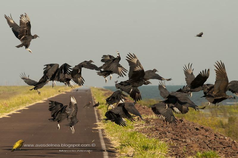 Jote cabeza negra (Black Vulture)