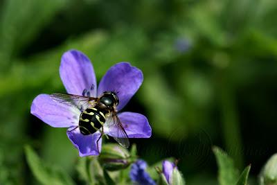 D.Pinastri sur fleur de géranium