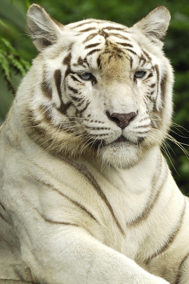 hd wallpapers of tigers. hd wallpapers of tigers. Info : White Tiger iPhone