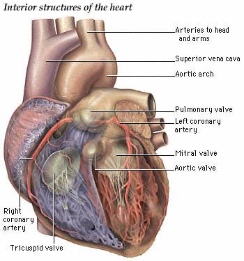 partes del corazon. partes del corazon.