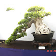 15 Ficus microphylla.JPG