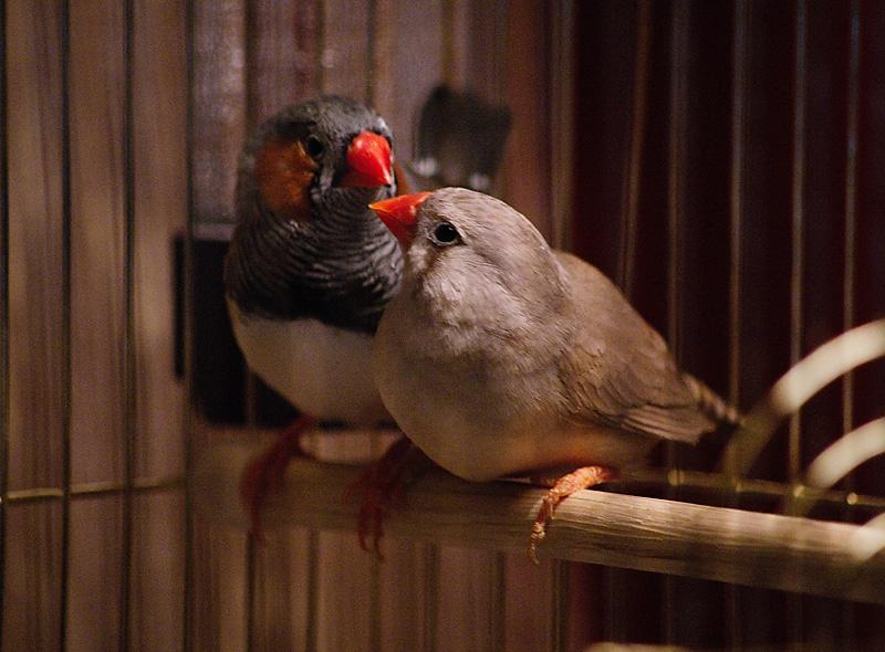 конечно лучшие птицы для дома мочевыводящих